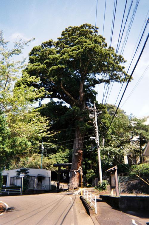 寄神社の大杉を写ルンですで