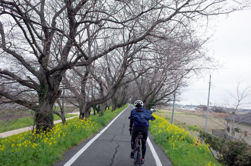 吉見町の桜はまだ