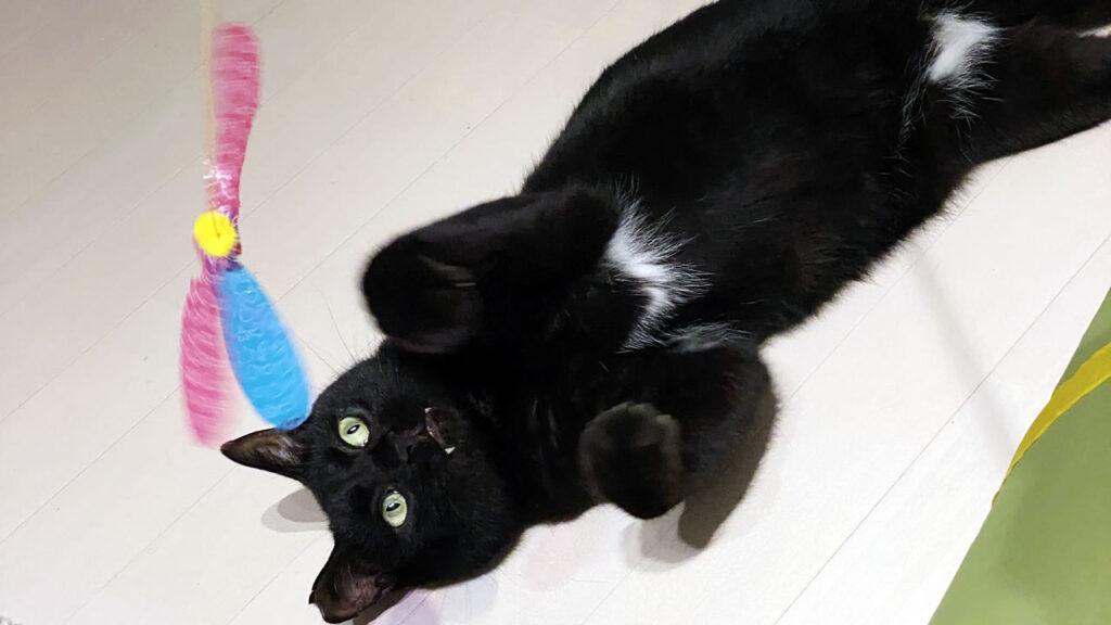 黒猫氏がよく遊ぶようになりました