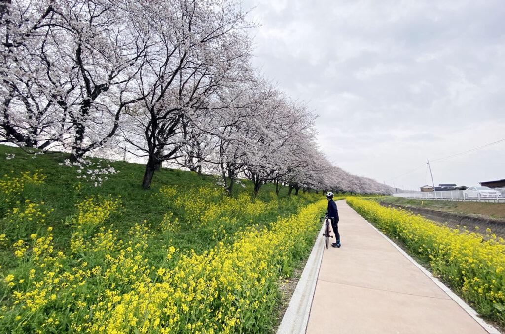 土手下からの菜の花と桜のコラボが美しい