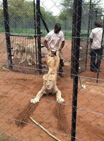 ライオン引きずられる