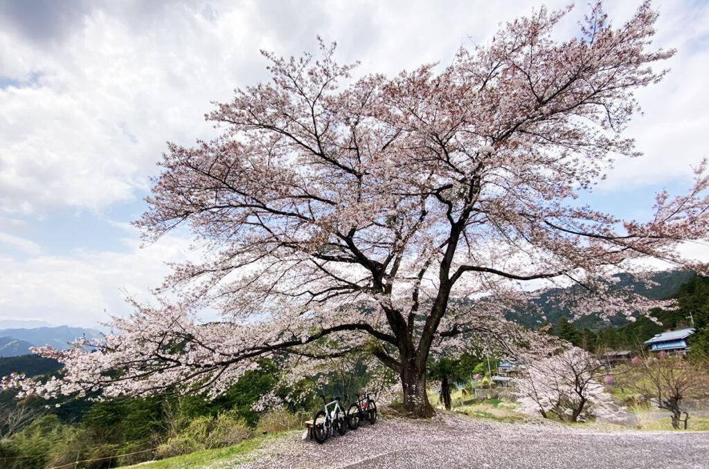 八徳の一本桜、4年ぶりに見ることができてよかった~