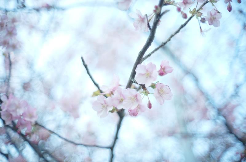 三崎口の早桜 [Sony α7 + Canon Lens 35mm F1.5]