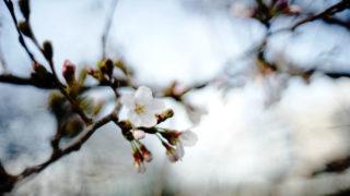 今年も桜の季節がやってきた!
