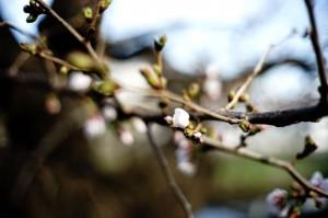 桜満開まであともう少し