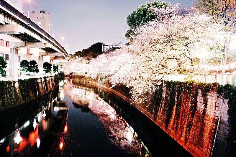 神田川沿いの桜は有名