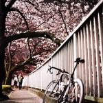 神田川沿いの桜は見ごろ!