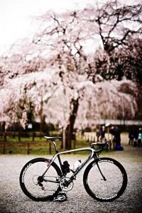 清雲寺のしだれ桜、すごいキレイ!