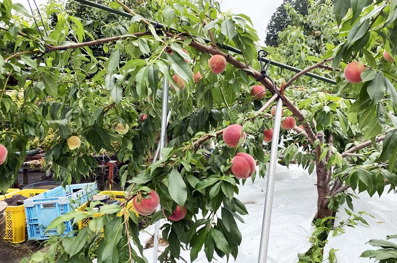 山梨県は堅めの桃が好き?