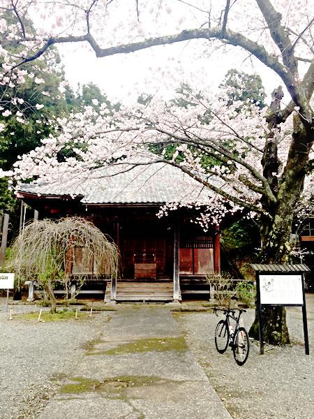 趣のある大日堂と桜とキャニオン・アルティメット