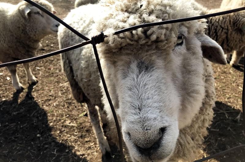 めん羊の里・木里館に行ってみた!