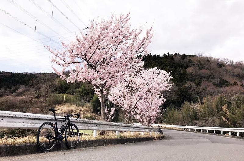 ソメイヨシノ? 新東名工事現場の桜が見ごろ!