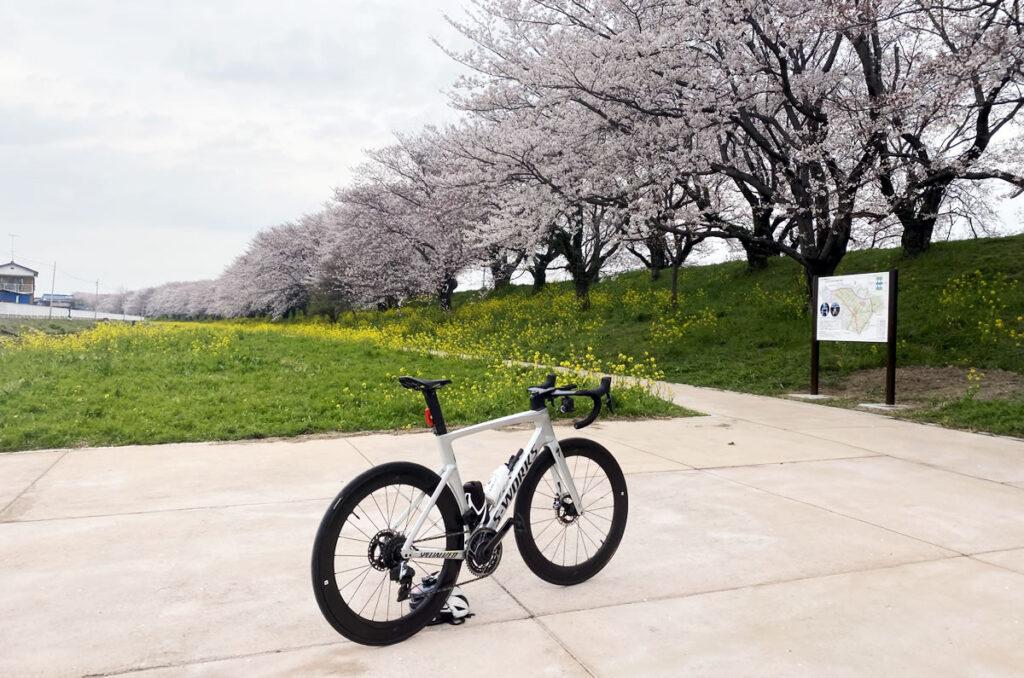 吉見町のさくら堤公園の桜並木が凄かった(;゚д゚)ゴクリ…