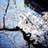 渋谷区桜丘町の桜