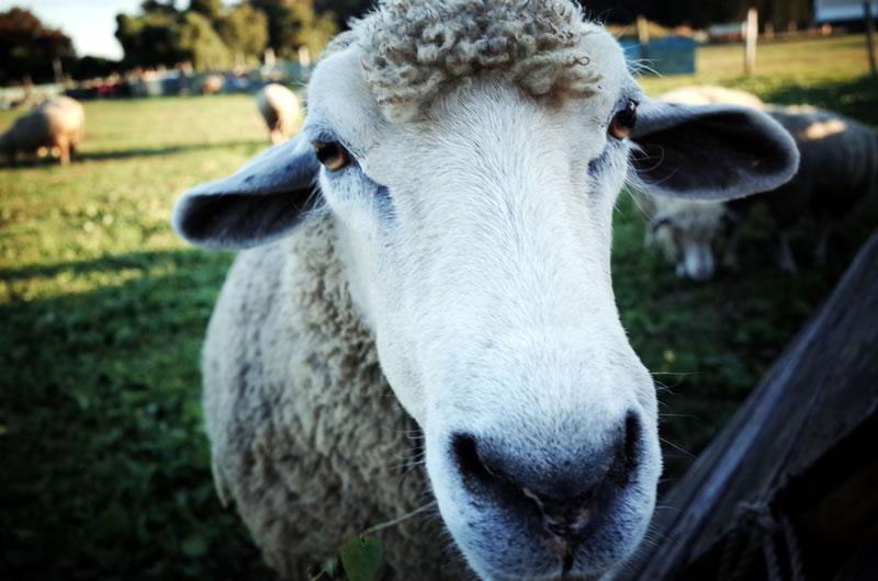 服部牧場で羊と遊ぶ!