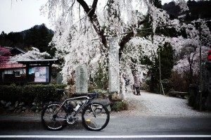 札所は桜の名所揃い!