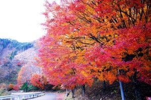 燃えるような紅葉( *´艸`)