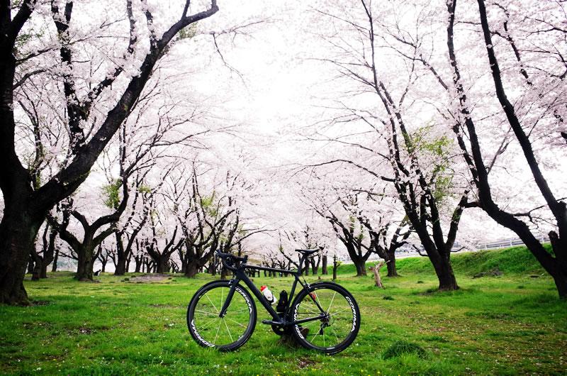 相模川の桜も見事!