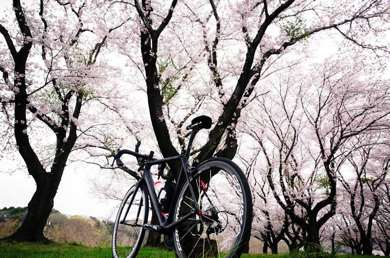 質実剛健なキャニオンと桜のコントラストよ