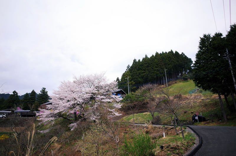 桜が見えてきた!