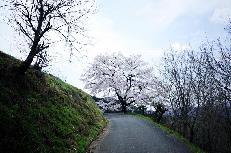 これが八徳の一本桜?