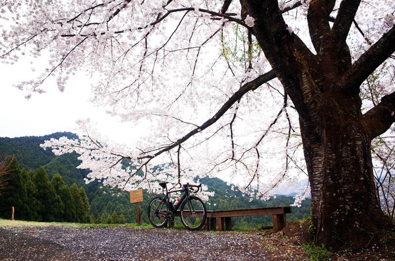 心に残った美しいサイクリング風景第1位は八徳の一本桜