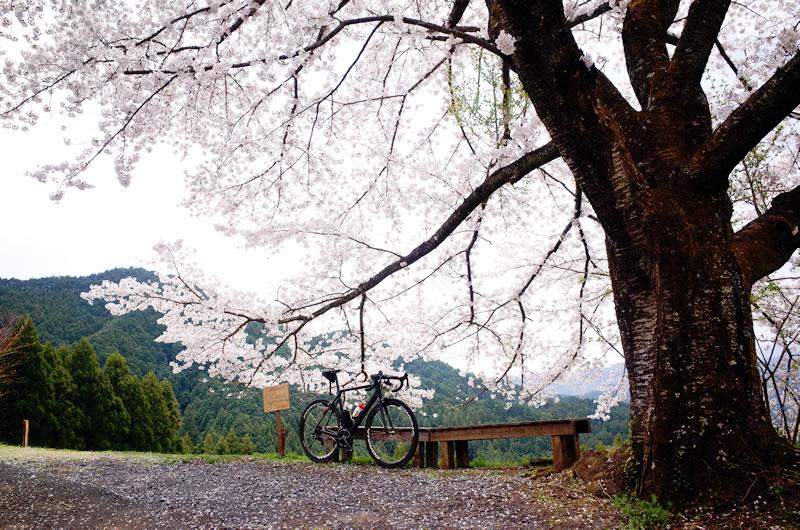 八徳の一本桜は見事な満開