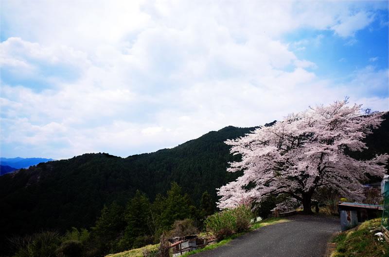 いつまでも大切にしたい八徳の一本桜