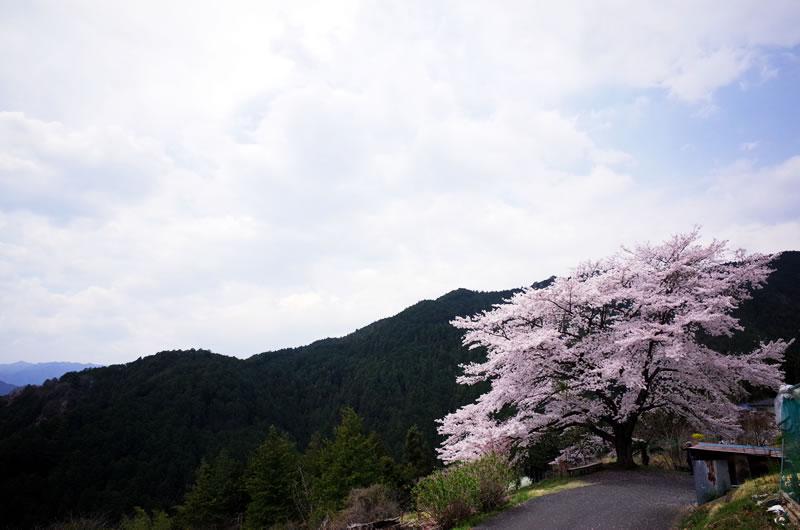 八徳の一本桜は遠巻きにいるとさらにグッド