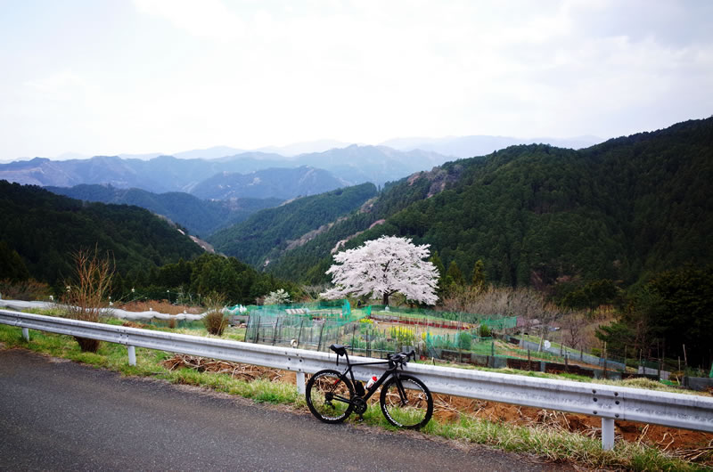 八徳の一本桜を観に行こう!