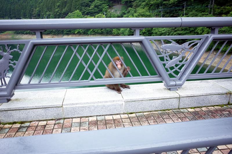 橋の欄干からこちらを警戒するお猿さん