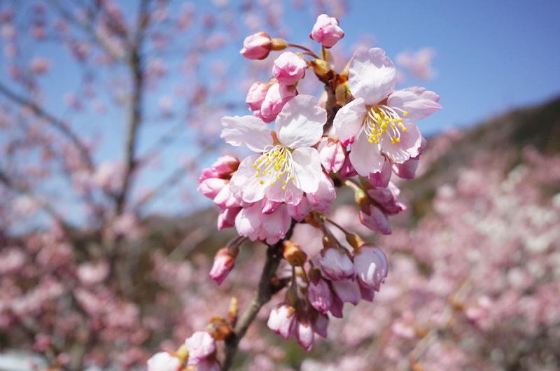 1年経って、また桜の季節がやってきました(*´ω`*)