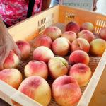 試食で丸ごと1個の桃が食べられる!