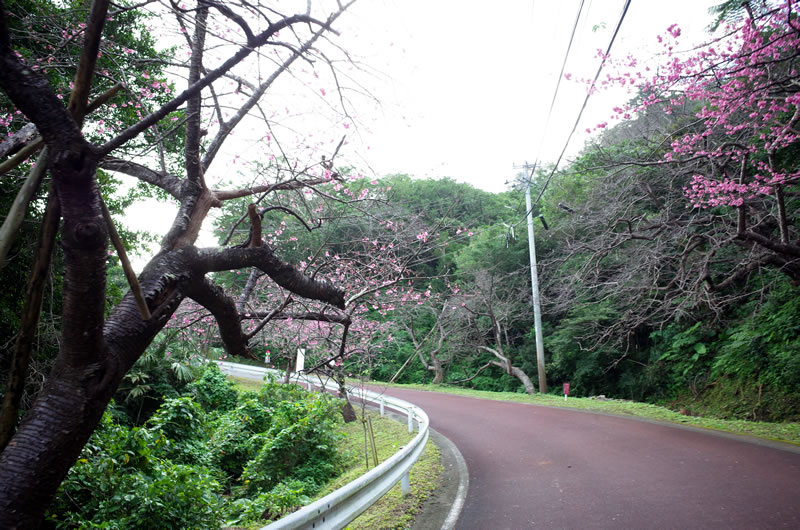 おぉ、日本一早い桜を発見!