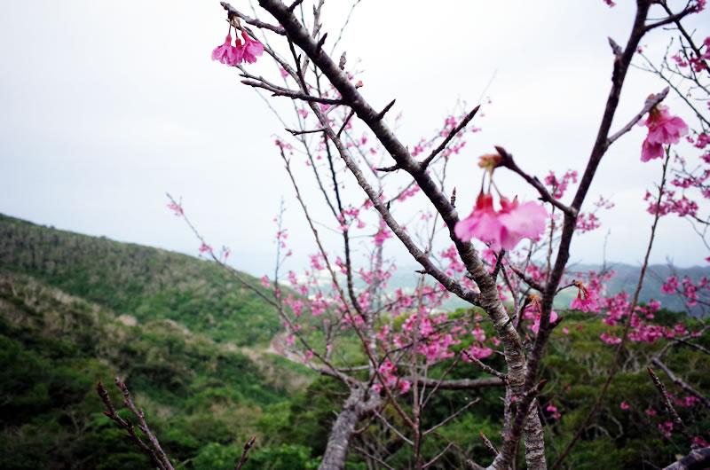 八重岳の山頂は5分咲き