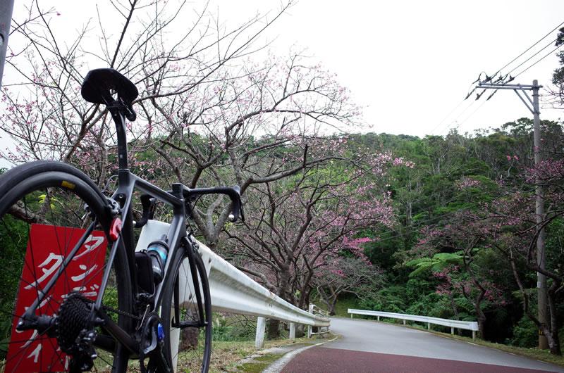 沖縄で日本一早い桜を見に行こう!