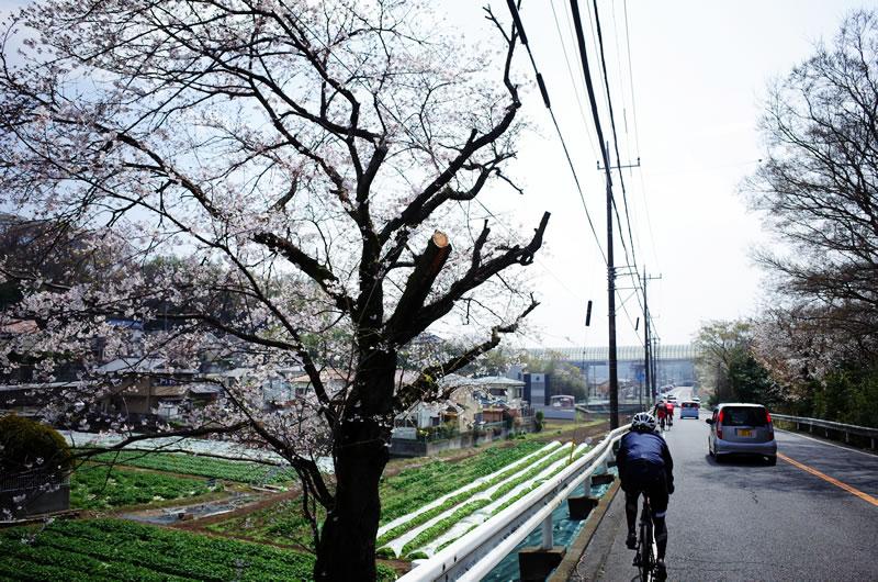 桜が咲いていますね(´_ゝ`)
