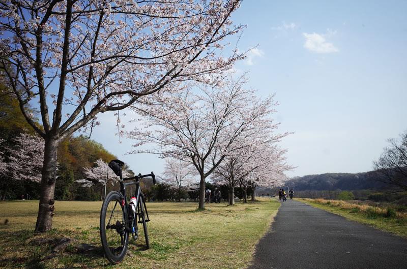 福生付近の多摩川サイクリングロードも桜がいい感じ(*´ω`)