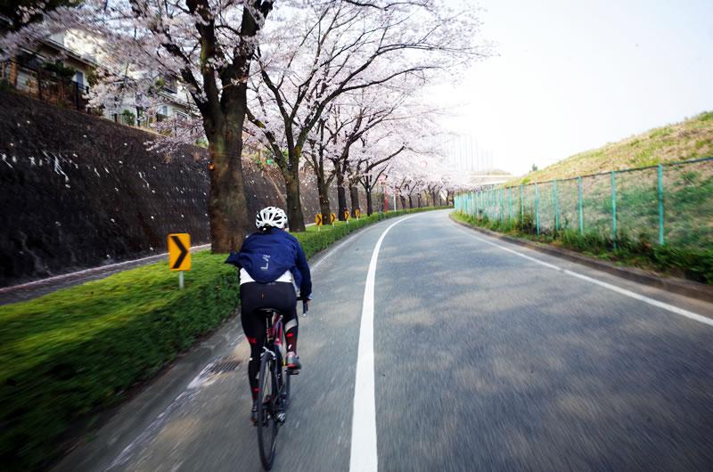おぉ~、尾根幹が桜でいっぱい!