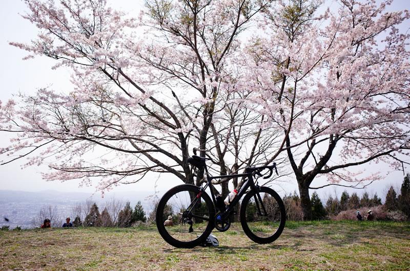 菜の花台も桜スポット。富士山と桜のコラボも撮れる