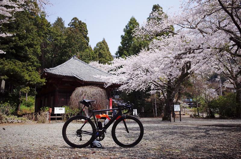 桜写真撮っていたら、キャニオンが倒れました(◎_◎;)