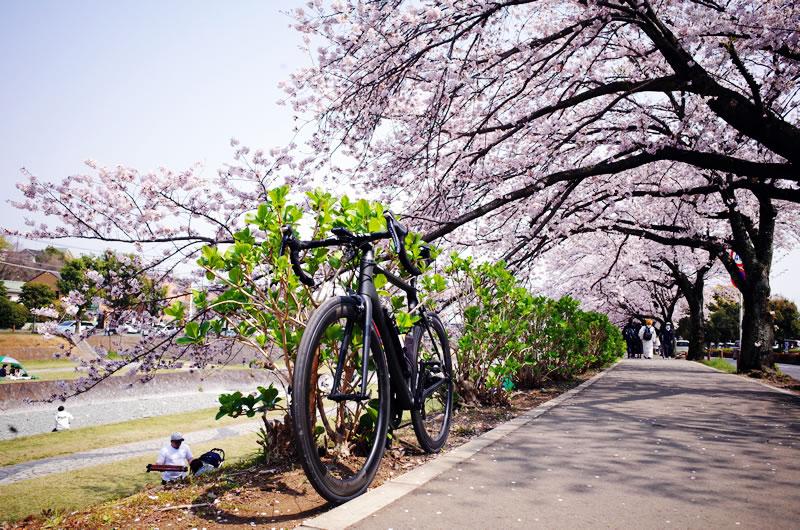 秦野周辺(葛葉川沿い)の桜並木がすごい
