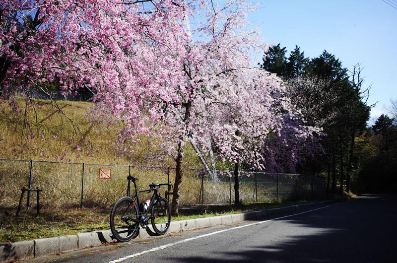 関ヶ原はちょうど桜が満開