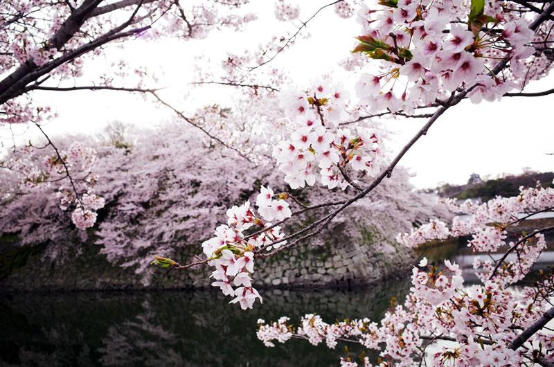 満開の桜を見ながら彦根城は素通り(;^_^A